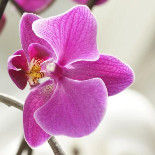 phalaenopsis thank you i love it. Black Bedroom Furniture Sets. Home Design Ideas
